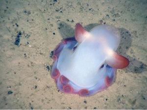 Dumbo Octopus - Marine Bio Conservation Society 2013