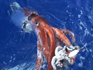 Giant Squid - 7 m female but grows to 18 m - South of Tokyo - attacking a bait squid - Kubodera 2006