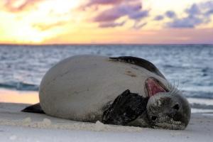Hawaiian Monk Seal - Mark Sullivan