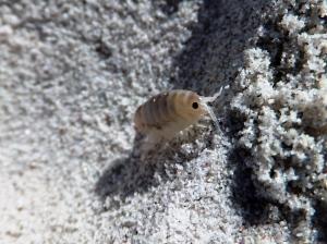Talorchestia capensis
