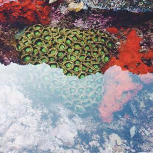 Transkei Coral