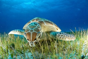 Turtle & Sea Grass - Javiar Sandoval