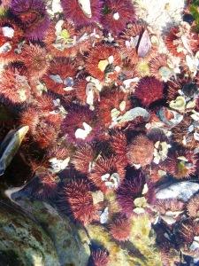 Urchins 3