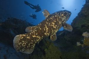 Coelacanth 10