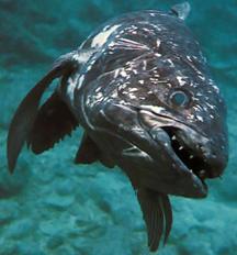 Coelacanth 3