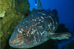 Coelacanth 4