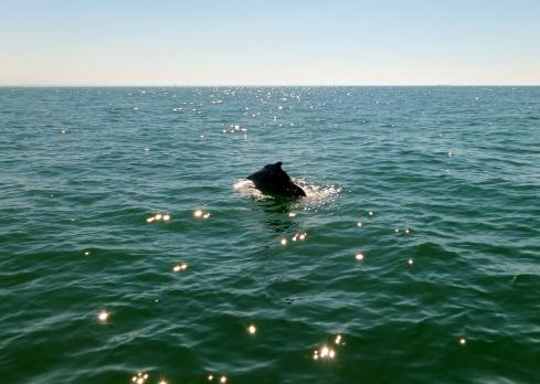 Indo-Pacific Humpback