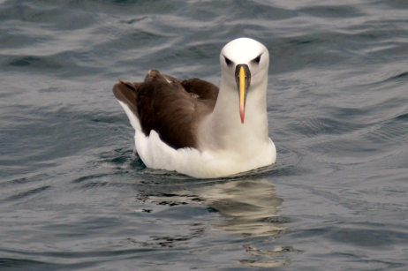 Atlantic yellow-nosed albatross.