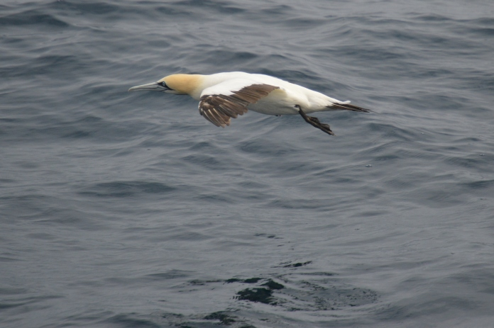 Cape gannet.