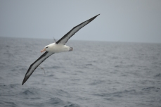 Black-browed albatross.
