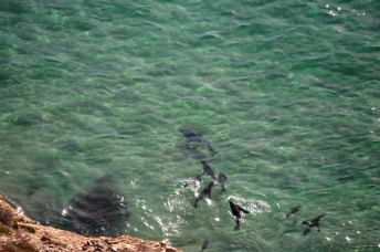 Cape Fur Seals Mobbing Great White Shark