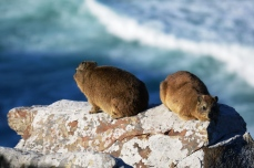 Dassies/Rock Hyrax