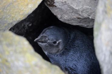 Juvenile African Penguin