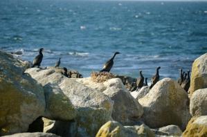 Nesting Bank Cormorant
