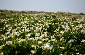 Arum Lily Field