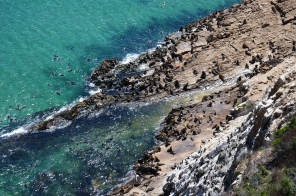 Robberg Cape Fur Seal Colony