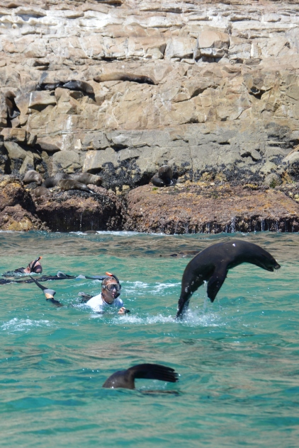 Cape Fur Seal Entertaining Swimmers