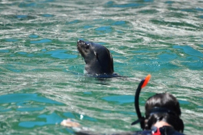 Cape Fur Seal with Snorkeler
