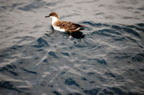 Great shearwater.