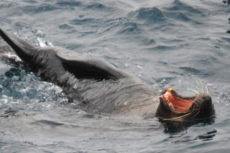 Cape fur seals provided the entertainment.