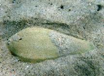 Cape Sole