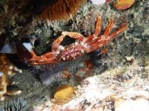 Cape Rock Crab