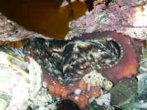 Common Octopus in its Den