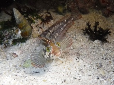 Bluntnose Klipfish