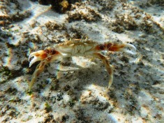 Three-Spot Swimming Crab