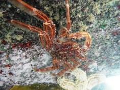 Cape Rock Crab