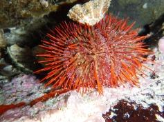 Cape Urchin