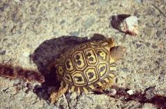 Teeny Weeny Leopard Tortoise