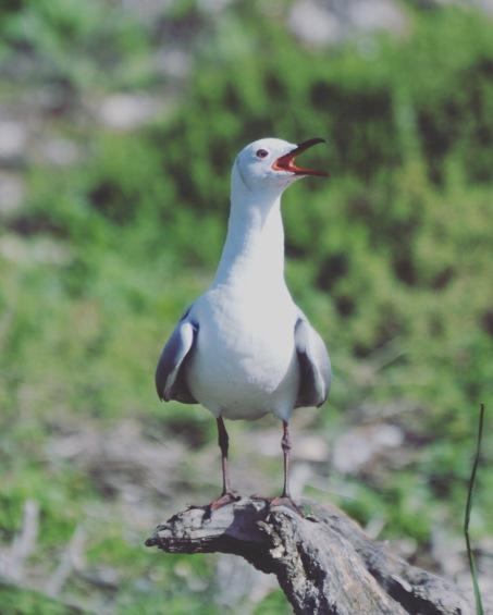 Hartlaub Gull