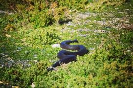 Mole Snake