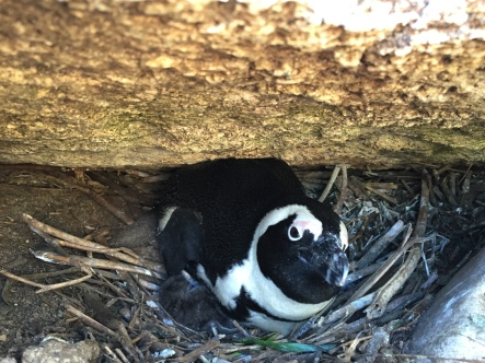 African Penguin with Two Chicks