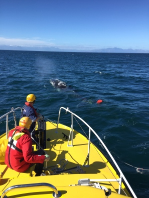 Disentangling a 7.5 m Humpback Whale from Octopus Pots Anchoring it to the Seafloor - False Bay, Cape Town