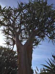 Namaqua Quiver Tree