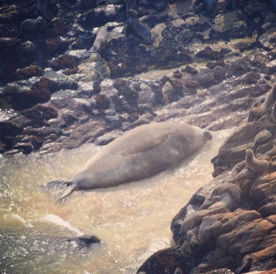 Solo - Vagrant Southern Elephant Seal Bull