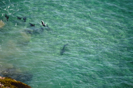 Group of Seals Heading off the Point Spot a Great White Shark