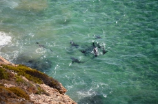 The Seals Mob the Shark Forcing it to Change Direction