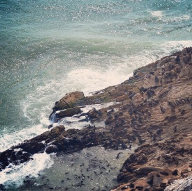 Robberg Cape Fur Seal Colony with a Visiting Solo (Mirounga leonine)