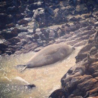 Vagrant Southern Elephant Seal (Mirounga leonine) Bull