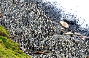 King Penguins and Southern Elephant Seals