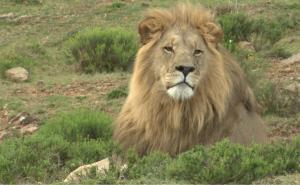 Lion - Shamwari
