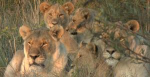 Lionesses and Cubs - Shamwari