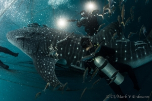 Whale Shark - Indonesia