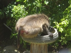 Due to urban development, baboons cannot access all of the natural water sources that they historically could