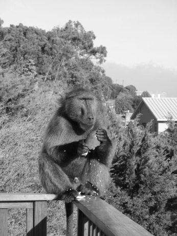 Baboons are opportunistic and will go after easily accessible food
