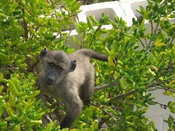 The Cape without baboons doesn't bear thinking about