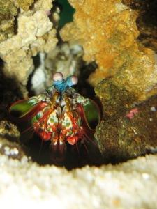 A - Peacock Mantis Shrimp
